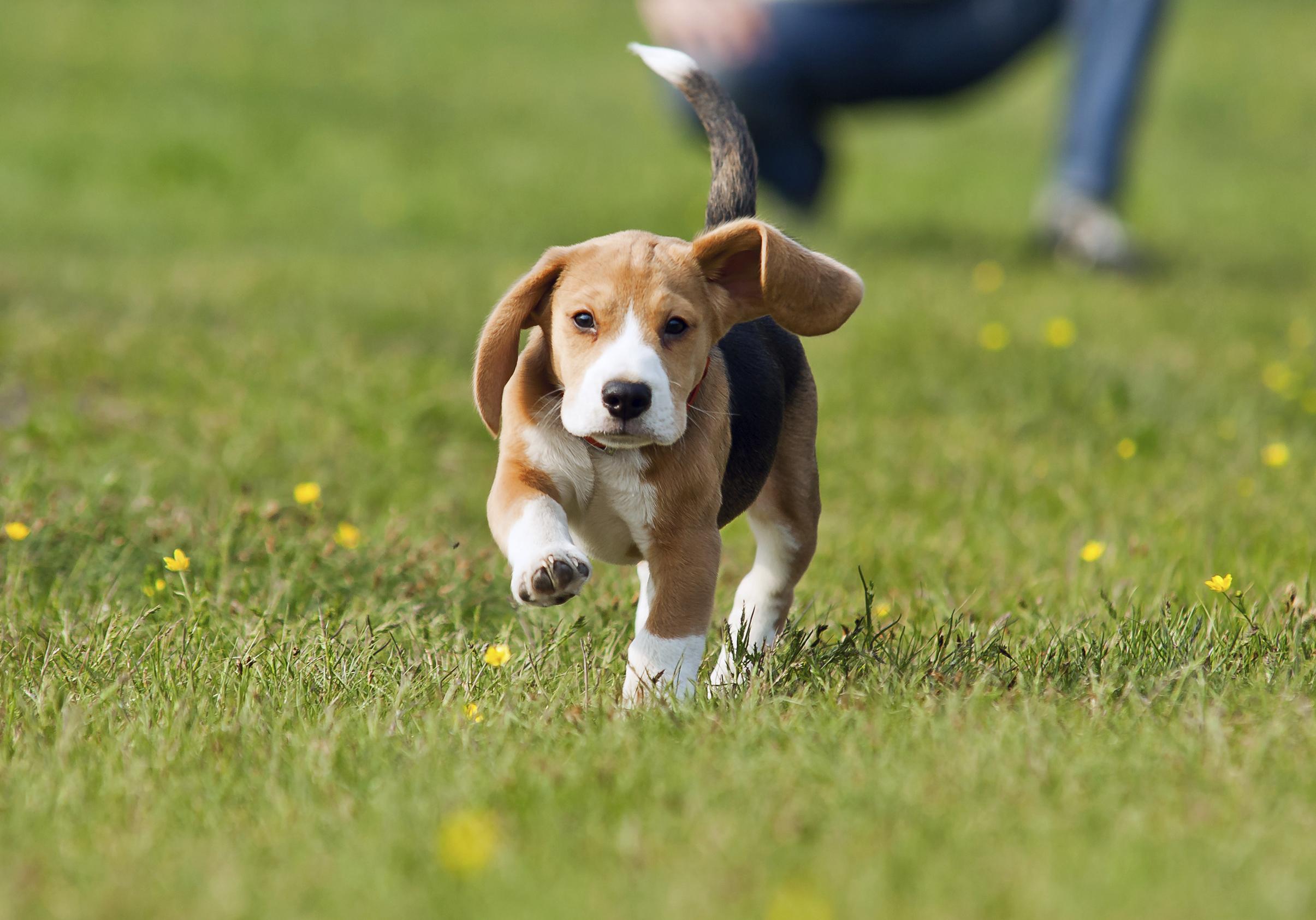 Running beagle puppy at the walk